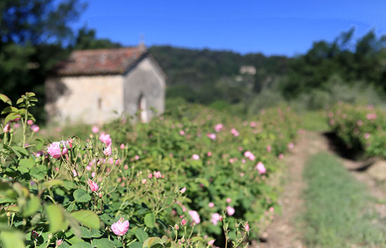 perfumes are made in the small French town of Grasse